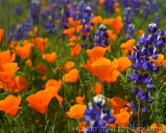 California Gold, Arvin, CA.  March 19, 2010 (Robert Pearce Photography) Tags: california orange foothills flower landscape spring purple blossom bokeh poppy bloom april lupine caliente 2010 arvin kerncounty nikond200 robertpearce robertpearcephotography