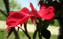 Saturday's Rose..... (ninariver) Tags: flowers roses macro nature garden petals nina redroses myfrontyard altissimarose
