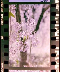 weeping higan cherry blossom (tinybeans) Tags: slr film cherry spring kodak blossoms nikonfm10 sakura cherryblossoms manual bbg fm10 negatives invert brooklynbotanicalgarden spring2010