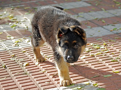 Dog - Portrait (cpcmollet) Tags: dog cute dogs beauty face animals puppy duck nikon shepherd canine perro german cachorro animales mascota gos rasa pastoraleman