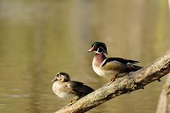 Wood Duck Couple Sitting on a Branch (ThomasD300) Tags: park trees lake pond nikon ducks laval parc 70200mm woodducks d300 canardbranchu thomasd300 riviredesprairie