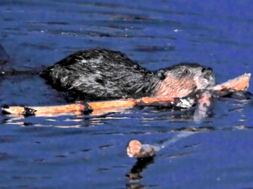beaver2
