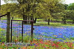 Gated Bluebonnets