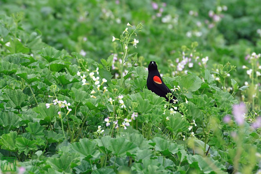 Red-winged Blackbird 04101-12