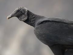 Jote de Cabeza Negra (Coragyps atratus) (FRosselot) Tags: chile naturaleza aves birdwatching carroero