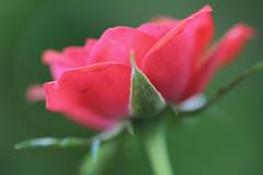 mini rose (Thelma Gatuzzo) Tags: red flores flower green texture fleur rose garden flora 7d selectivefocus minirose tinyrose minirosa thelmagatuzzo