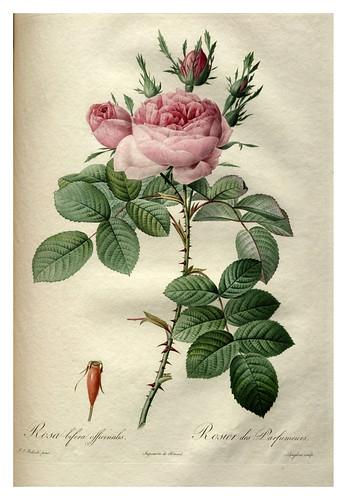 018-Les roses 1817-1824- Pierre-Joseph Redouté