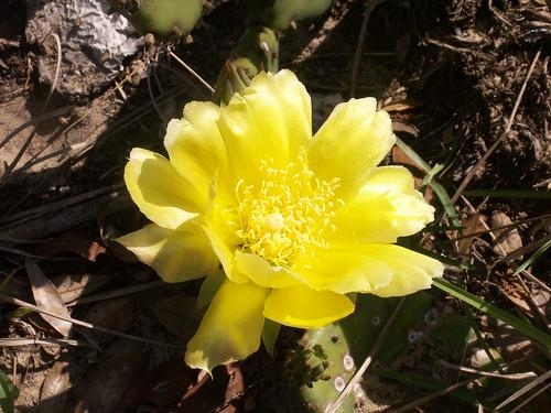 100502-cactusflower1-ok