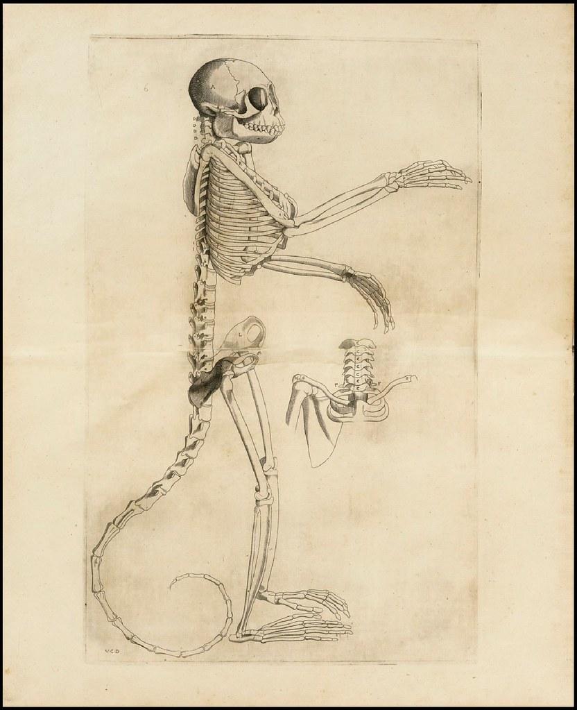 Externarum et internarum principalium humani corporis 1573 by Volcher Coiter