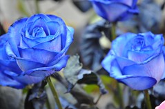 Azul (Empatia Efmera) Tags: blue roses jordi rosas sant azules