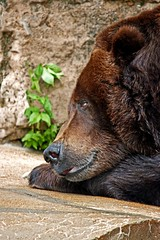 BEAR this in mind !!! (Picture Taker 2) Tags: bear nature beautiful animals closeup outdoors zoo colorful pretty native wildlife missouri curious unusual stlouiszoo predator captive upclose mammals zooshot wildanimals grizzlybear specanimal