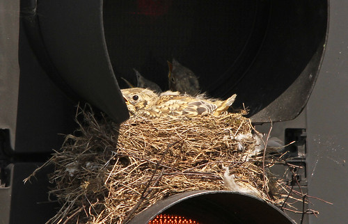 Thrush Chicks