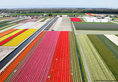 Commercial flower bulb cultivation (Michael Layefsky) Tags: holland tulips thenetherlands aerial bulbs kap hyacinth kiteaerialphotography narcissus flowerbulbs kapined10 commercialflowercultivation
