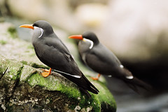 Inca Tern, Larosterna inca (LongLensPhotography.co.uk - Daugirdas Tomas Racys) Tags: two film birds bristol zoo rocks dof scan coastal shore incatern larosternainca canonfd300mmf28lt90