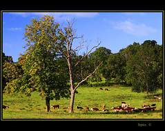 Chewing The Cud. (Picture post.) Tags: trees summer sunlight green nature landscape spring cattle bluesky paysage arbre otw mywinners platinumphoto spiritofphotography