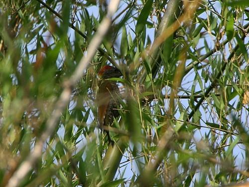 RufousWoodpecker