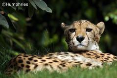 PWP: Cheetah (--CWH--) Tags: africa park wild animal animals zoo paradise desert wildlife spots cheetah endangered mammals zoological smallcat d90 paradisewildlifepark landspeed visitengland fastestanimal chrishumphries animalshootscom animalshoots