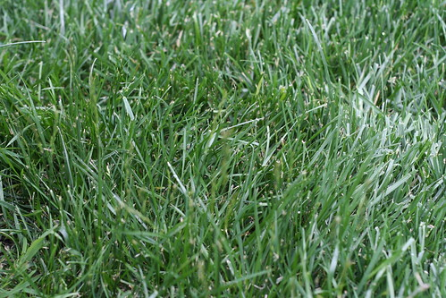 The gallery for --> Tall Fescue Grass Seed Head Tall Fescue Grass Seed Head