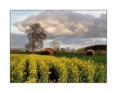 Les schoirs (eric_47) Tags: rose jaune lot nuage et arbre garonne plaine colza platane marmande schoir coussan passiondclic
