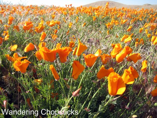 Antelope Valley California Poppy Reserve 6