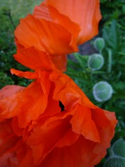 robe (peltier patrick) Tags: flowers orange flower macro leave nature fleur fleurs plante garden rouge soleil photo petals berry lumire jardin vert petal printemps couleur ptale coquelicot feuille papaver vivace pavot mohn ptales peltierpatrick