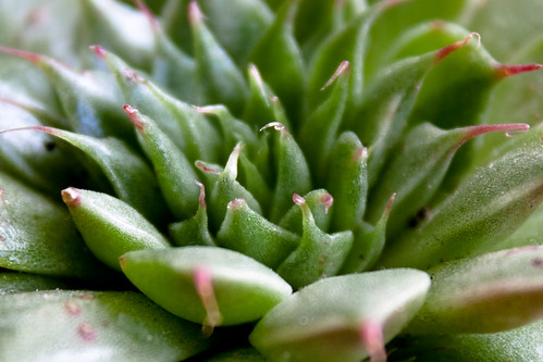 House Plants: echeveria tundelii (by Mullenkedheim)