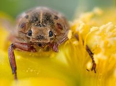 (CostaDinos) Tags: hairy flower macro monster yellow closeup bug insect small cyprus ugly pear pricklypear prickly scarab