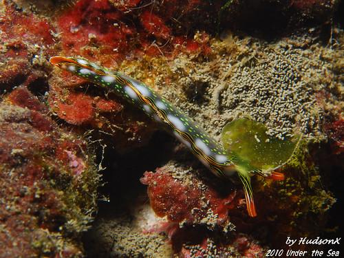 螢光綠點點海蛞蝓(2)