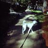 A long walk (Graustark) Tags: dog film 35mm texas houston lightleak squareformat kodakportra160vc dinky nearhermannpark ratapoo ratterrierpoodlemix dianamini