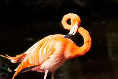 8 (***roham***) Tags: wild bird nature animal zoo nikon flamingo d200 greatervancouverzoo nikond200 wildphotography 400mmf35aisii nikon400mmf35ais