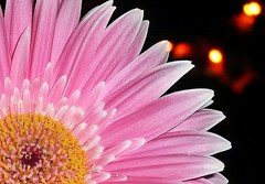 GERBERA: night flower  and night lights (eagle1effi) Tags: longexposure pink flowers flower macro germany dark deutschland lumix darkness nightshot experiment blumen gerbera nightshots fiori blume fiore supermacro tuebingen longshutter nachtaufnahme tbingen langzeitbelichtung damncool tubingen masterclass wrttemberg badenwuerttemberg 15faves iso160 nightimage fav10 cameraart 10faves views100 views200 tubinga lumixmacro eagle1effi ishotcc naturemasterclass yourbestoftoday artandexpression effiart supermacroon2 lumixbest dibenga stadttbingen effiartkunstcopyrightartisteagle1effi focallengthin35mmformat51mm sharpnessnormalimagequalityhigh scenemodecandlelight effiarteagle1effi beautifulcityoftubingengermany beautifulcityoftbingengermany ber100malgesehen