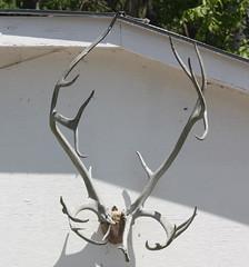 Reindeer Antlers (DianesDigitals) Tags: tooth reindeer skulls skull teeth antlers claw bones bone caribou claws woodlandcaribou rangifertarandus dianesdigitals