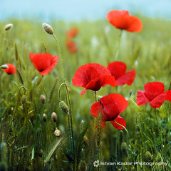 Like Yawn of Fire (fesign) Tags: flowers red scarlet poppy poppies opium colorphotoaward selectbestexcellence sbfmasterpiece