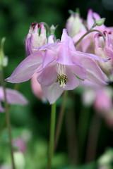 27. Mai 2010: Akelei (Gertraud-Magdalena) Tags: flower salzburg mai blume frhling akelei naturesfinest mallmixstaraward
