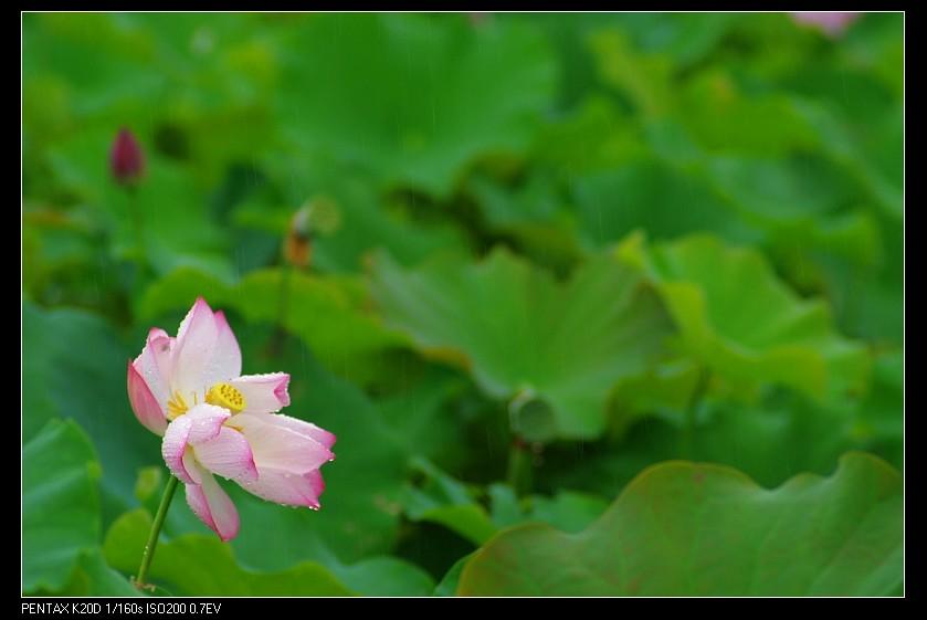 2010/05/29 農改場-絲絲雨荷!