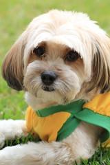 (Mariana Braga) Tags: dog co animal brasil cachorro socarlos lhasa bicho cachorra cadela peteca marianabraga shitso fotografiademarianabraga