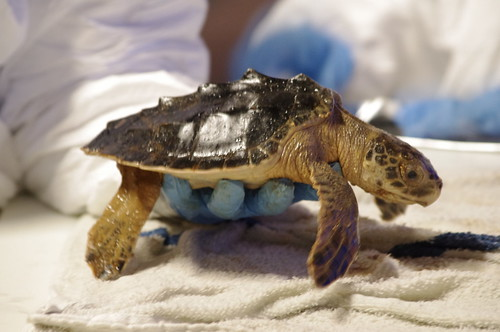 LDWF Biologist Rescues Oiled Sea Turtle