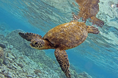 hawaiian sea turtle (bodiver) Tags: turtle fins orcadivers