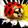 ~ Morning Ladybug/Ladybird ~ (ViaMoi) Tags: canada flower color colour detail macro nature closeup digital insect photography photo drops eyes photographer natural vibrant wildlife dew ladybird ladybug tamron 90mm tamron90mm naturalist naturesfinest imagist 430ex masterphotos 40d canon40d naturewatcher viamoi
