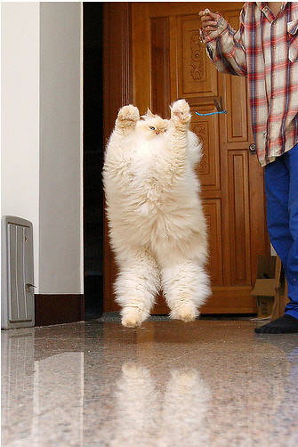 cute fluffy Himalayan cat jumping