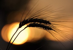Amber Waves Behind Grain (jjs08) Tags: sunset sky silhouette digital photography golden amber photo interesting nikon warm glow photos bokeh wheat grain explore enjoy breathtaking shocking 2010 surprising mindboggling astonishing mindblowing eyepopping overwhelming startling wondrous d90 confounding explored stupefying jjs08 june112010 jennifershieldsphotography