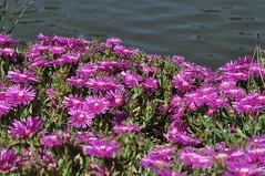 Purple mediterranean