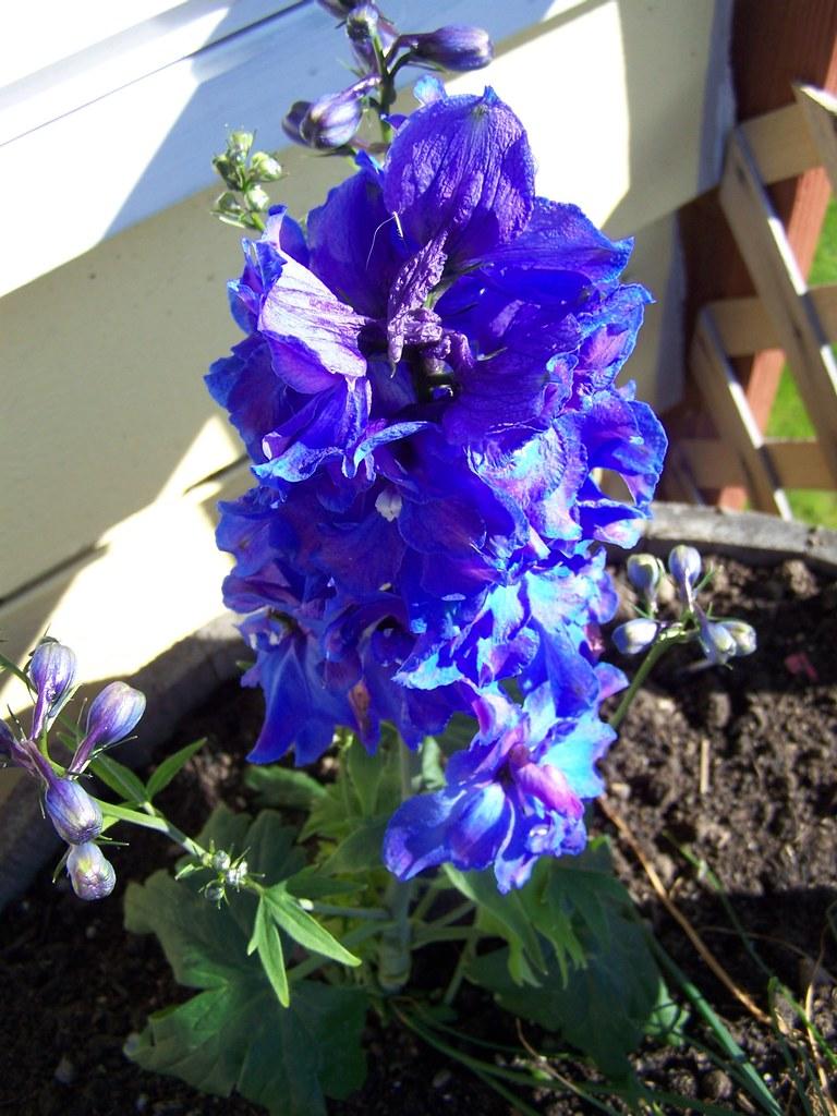 june 033 Fully in bloom!