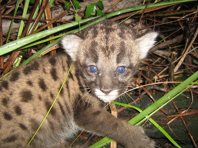 A Florida Panther kitten caught at night in the wild. Kittens are typically spotted.