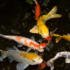 CI193 Koi (listentoreason) Tags: fish nature animal favorites koi carp animalia vertebrate cyprinidae cypriniformes commoncarp chordate chordata nishikigoi japanesecarp cyprinuscarpio osteichthyes actinopterygii ostariophysi teleostei ef28135mmf3556isusm score30 cyprinus brocadedcarp teleost bonyfish rayfinnedfish actinopterygius cyprinioidea cyprininae ostariophysian