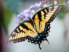 Tiger Swallowtail Butterfly (Mark Chandler Photography) Tags: yellow canon butterfly georgia swallowtail xsi tigerswallowtail 450d