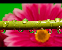 Water Refraction (Sharon Goforth) Tags: pink plant flower macro green water canon eos rebel drops stem flash contest h2o 2nd dew refraction 2ndplace syrp t1i