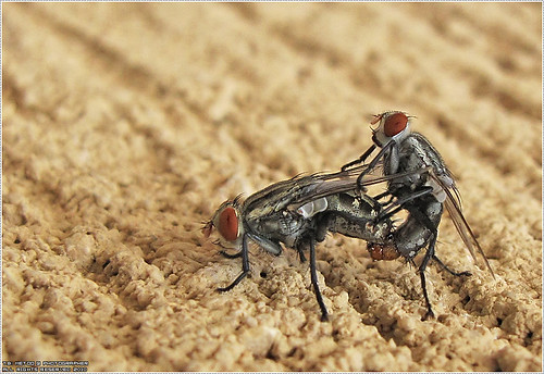 Mating Flies - تزاوج الذباب