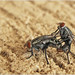 Mating Flies - تزاوج الذباب