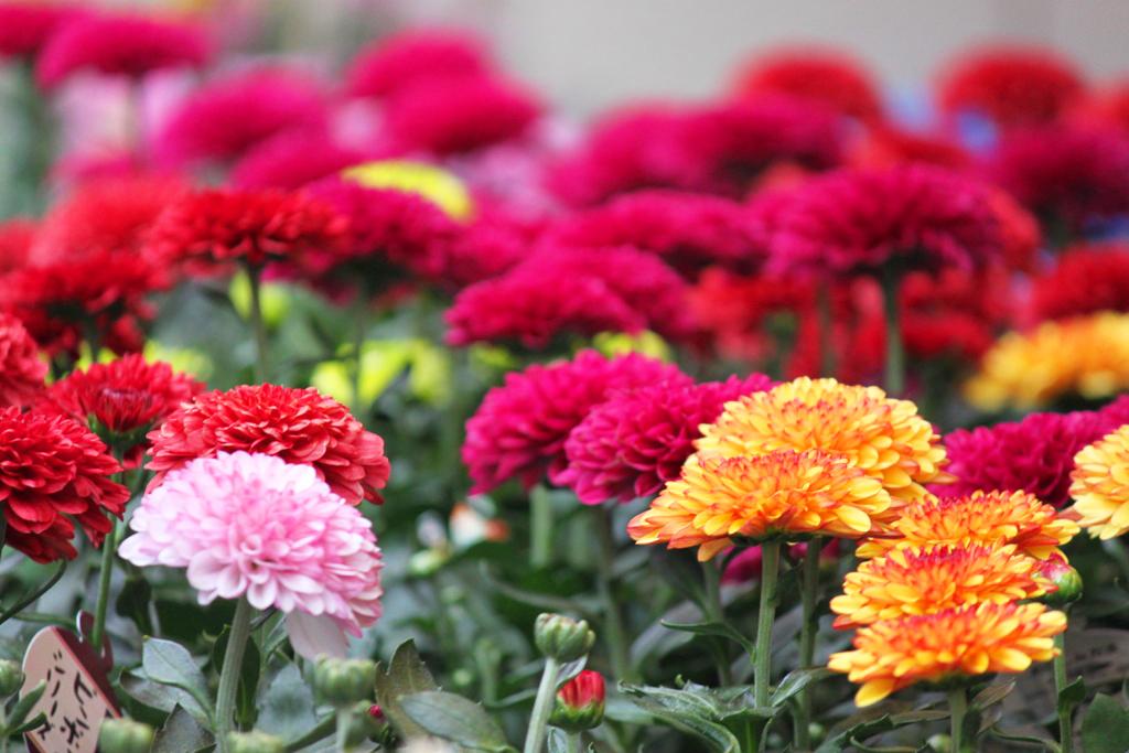 Yanaka Chrysanthemum Festival (9)